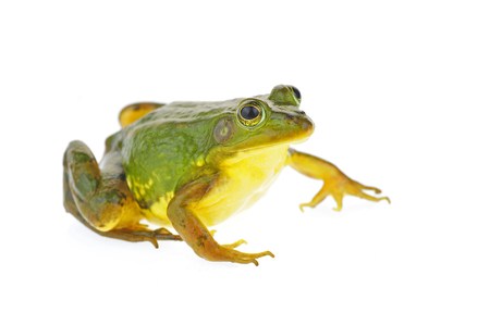 Foto de Frog isolated on a white background  - Imagen libre de derechos