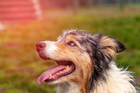 Foto de Portrait of a beautiful border collie dog in a green environment on a spring day. - Imagen libre de derechos