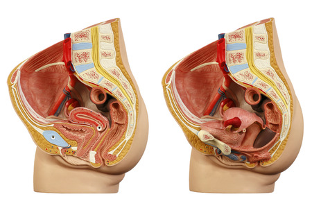 Foto per Anatomical model female pelvis - Immagine Royalty Free