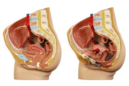 Photo pour Anatomical model female pelvis - image libre de droit