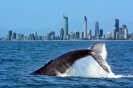 Foto de The tail of a Humpback Whale (Megaptera novaeangliae) rise above the water against Surfers Paradise skyline in  Gold Coast Queensland Australia - Imagen libre de derechos