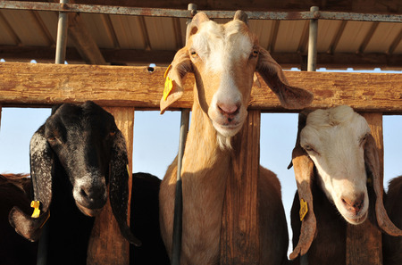 Dairy milking of Goats in Individual farms in the Negev.
