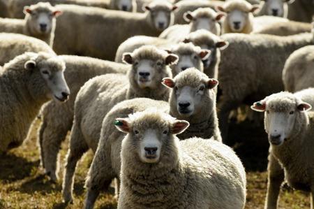 Foto de Flock of sheep, New Zealand. - Imagen libre de derechos
