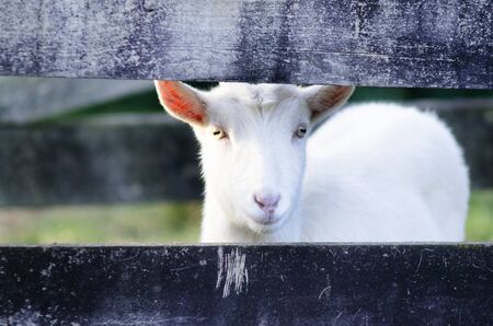 White Goat looks out from a fence of animal farm.