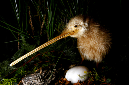 Photo pour Kiwi bird and an egg in New Zealand. - image libre de droit