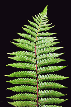Photo for Dicksonia Squarrosa New Zealand Silver Fern isolated on black background. Copy space - Royalty Free Image