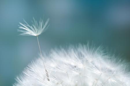 Foto de Closeup of dandelion - natural background - Imagen libre de derechos