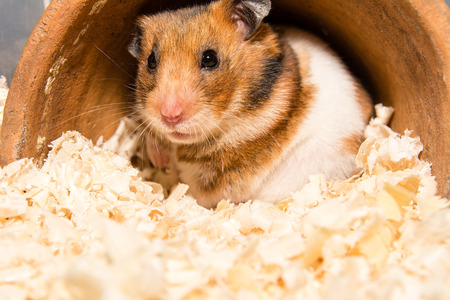 Photo for Cute little hamster - Royalty Free Image
