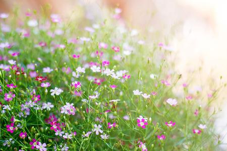 Foto für Gypsophila Flowers Most Commonly Used In Flower With Soft Light - Lizenzfreies Bild