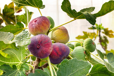 Photo for Fresh Figs fruit  hanging on the branch of tree - Royalty Free Image