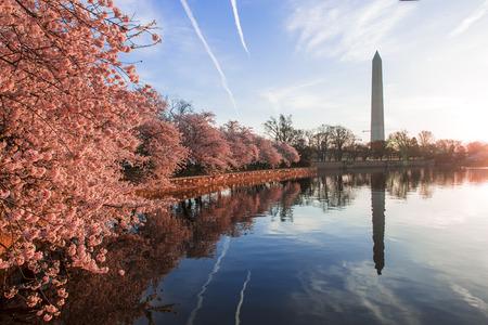 Foto de Cherry blossoms in peak bloom. Washington D.C. - Imagen libre de derechos