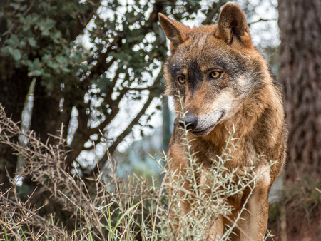 Photo pour Cute iberian wolf portrait (Canis lupus signatus) with beautiful eyes - image libre de droit