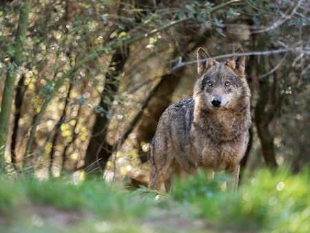 Photo for Beautiful female iberian wolf (Canis lupus signatus) in a enchanted forest - Royalty Free Image