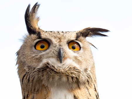Photo pour Close up portrait of an eagle owl (Bubo bubo) isolated on white background with yellow and big eyes and a funny expression - image libre de droit