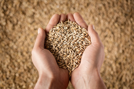 Harvest, close up of farmer's hands holding wheat grains