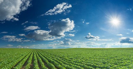 Photo pour Rows of green soybeans against the blue sky and setting sun. Large agricultural panorama of soybean fields. - image libre de droit