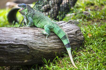 Green Iguana sitting on timber