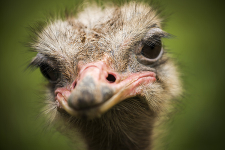 Portrait of an ostrich looking straight to the camera with a green field out of focus as a background
