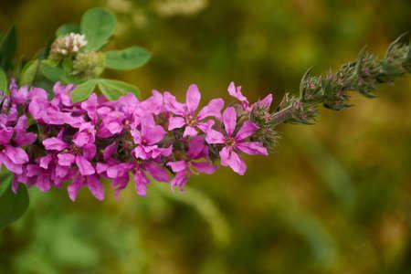 Foto de Set of small pink flowers on a branch, macro photography, details, summer, green - Imagen libre de derechos