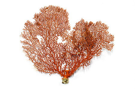 Red Gorgonian or red sea fan coral isolated on white
