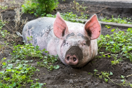 dirty pig lying in the mud with dirty snout