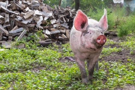 young pig walking on a farm a summer day