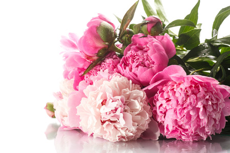 Photo for beautiful blooming peonies on a white background - Royalty Free Image