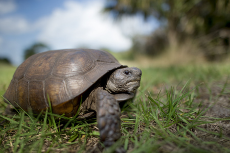 Photo for A Gopher Tortoise walking in green grass with a blue sky behind it on a bright sunny day. - Royalty Free Image