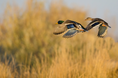 Photo for Mallard Ducks Flying Over the Autumn Countryside - Royalty Free Image