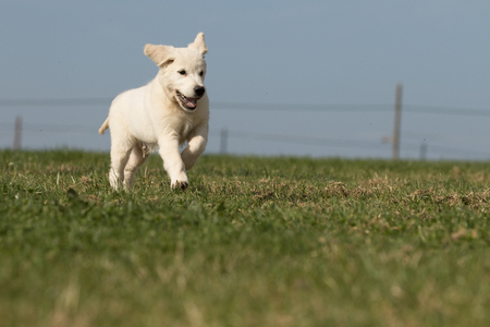 Photo pour puppy retriever - image libre de droit