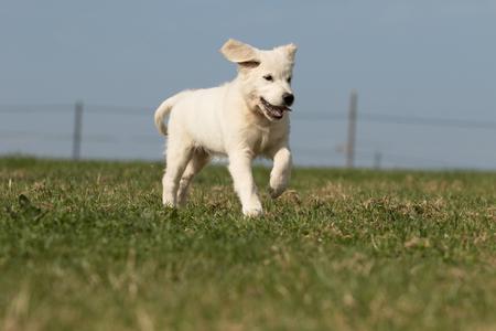 Photo pour photo of puppy retriever - image libre de droit