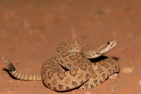 Foto de This midget faded rattlesnake was photographed in southern Utah, close to Arches National Park. - Imagen libre de derechos