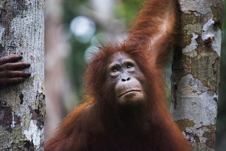 Photo for Orangutan, Indonesia. Native to Indonesia and Malaysia, orangutans are currently found in only the rainforests of Borneo and Sumatra. Orangutans are the most arboreal of the great apes and spend most of their time in trees. Orangutans are among the most intelligent primates. - Royalty Free Image