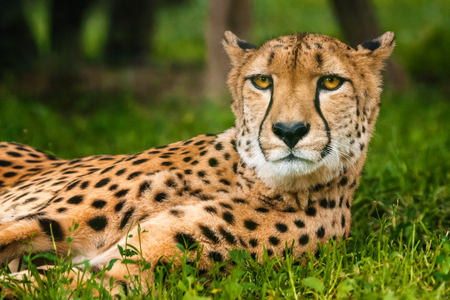 Close up with laying cheetah with gaze