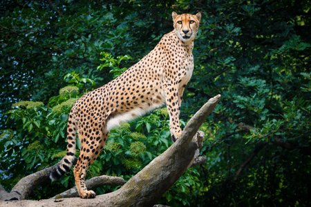 Cheetah during climbing on the tree with nice background