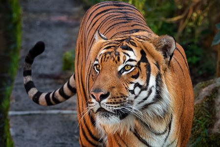 Photo pour Tiger malay looking for spoil - image libre de droit