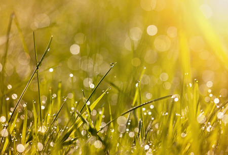 Foto de Beautiful dew grass with drops in the morning light - Imagen libre de derechos