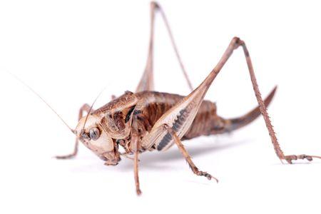 cricket Beetle isolated on white background.
