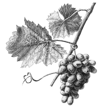 Illustration pour Illustration with grapes and leaves on a light background - image libre de droit