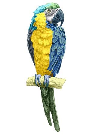 Photo pour illustration with parrot. hand drawn. - image libre de droit