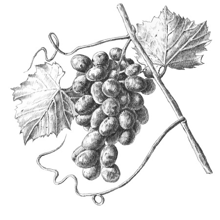 Illustration for Illustration with grapes and leaves on a white background - Royalty Free Image