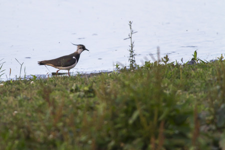 A Lapwing is searching for fodder