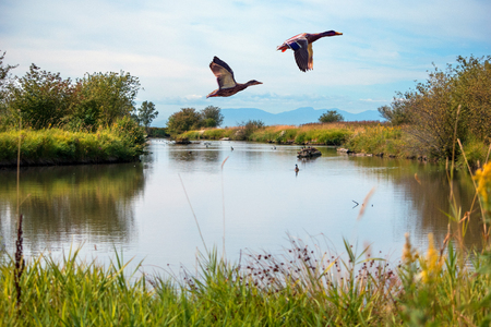 Photo pour Migratory ducks Flying over a lake - image libre de droit