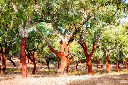 Photo pour Beautiful view on the plantation of cork oak trees with freshly crumbled bark in Portugal - image libre de droit