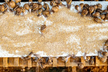 Photo for Lots of snails on a special shelves with feed on a farm for snails growing, close-up view - Royalty Free Image