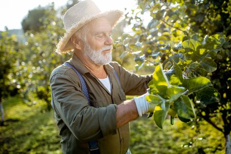 Foto de Senior well-dressed man as a gardener pruning branches of a fruit trees in the apple orchard. Concept of a fruit gardening on retirement age - Imagen libre de derechos