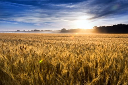 Foto de This field of wheat in central Kansas is nearly ready for harvest  An unusual misty morning added a low fog and misty drops to the wheat stalks  Focus is on wheat closest in foreground  - Imagen libre de derechos
