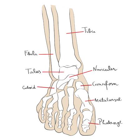Ilustración de Hand drawn illustration of the foot bones isolated on white, artistic anatomy graphic study - Imagen libre de derechos