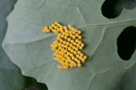 Eggs of the Cabbage White butterfly on Brassica.