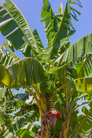 Photo pour beautiful banana tree - image libre de droit